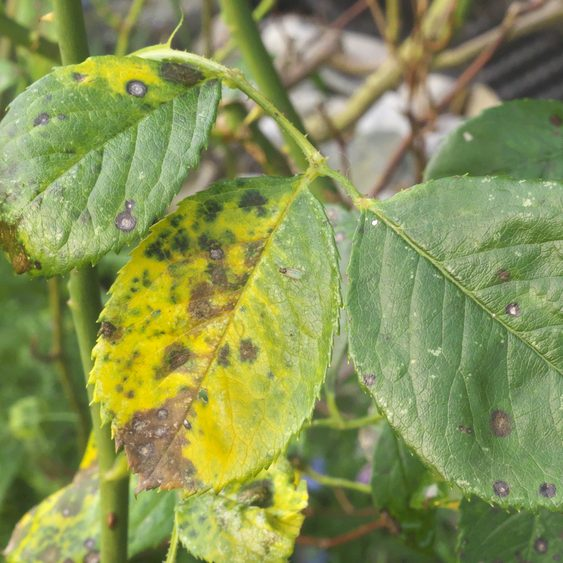 Diseased or Insect Ridden Plants - Nay